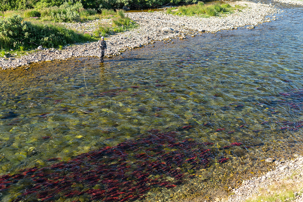 Trout fishing behind sockeye salmon at Kulik Lodge