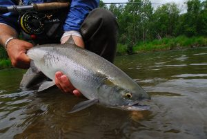 Kulik Lodge fresh sockeye salmon